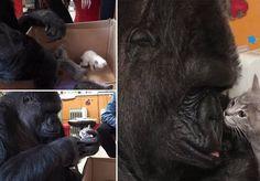 A história da gorila Koko é de deixar qualquer um emocionado. Com uma inteligência acima da média, Koko aprendeu uma variação da língua de sinais americana e é capaz de reproduzir mais de 1.000 palavras, além de entender um total de 2.000 expressões. Mas, apesar do talento, ela nunca pode ter filhotes. Tendo como lar aGorilla Foundation, na Califórnia, Estados Unidos, Koko pediu para ter um gatinho e, em 1984, acabou ganhando um de brinquedo, mas mostrou que não estava satisfeita com tão…