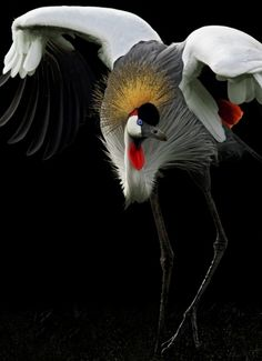 .Red Crowned Crane