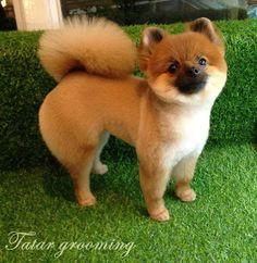 #Pomeranian