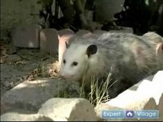 Did You Know That Possums Eat Almost All Your Yard Ticks?
