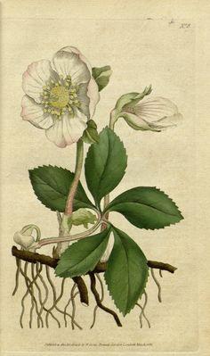 v.1-2 (1787-1789) - The Botanical magazine, or, Flower-garden displayed ... / - Biodiversity Heritage Library