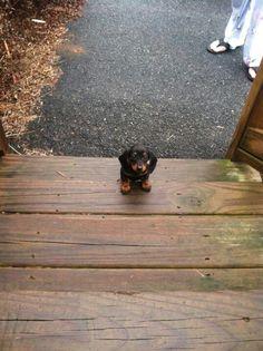 Baby dachshund :)
