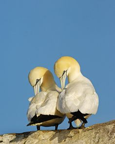 Photograph by Andrew Parkinson  Two adults preen on Ireland's Great Saltee Island. A pair of gannets will usually stay together for years, breeding each year at the same site. On land, partners continually reinforce their bond by touching bills, biting napes, and building nests together.