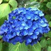 Hydrangea macrophylla 'Bodensee' Get care advice to your inbox every month - add this plant to your personal list.