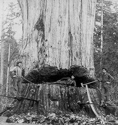 Sem fins lucrativos, quer clonar árvores mais antigas do mundo para reflorestar o planeta: TreeHugger