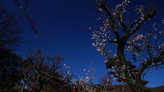 不老園の梅