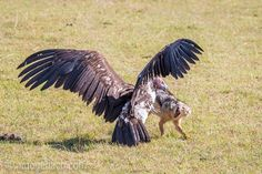 Discussion between Vulture and Jackal.   Masai Mara.   Kenya.    www.ingogerlach.com www.shop.ingogerlach.de