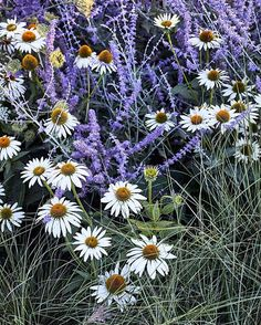 Echinacea and Perovskia. Meadow planting at the Sunset Magazine test gardens. Photo by David Fenton. Homestead Design Collective.