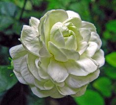 Use instead of country roses for fragrance Most Beautiful Flowers, Pretty Flowers, White Flowers, Small Vegetable Gardens, Vegetable Garden For Beginners, Gardenias, Flora Flowers, Exotic Flowers, Mysore