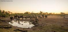 The Elephants of Savute Safari Lodge Elephants, Safari, Photos, Animals, Pictures, Animales, Animaux, Animal, Animais