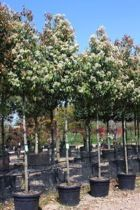 Photinia x fraseri 'Red Robin' - Trees & Shrubs A vigorous evergreen shrub from Asian and North America with dark glossy green leaves and brilliant red young growths.