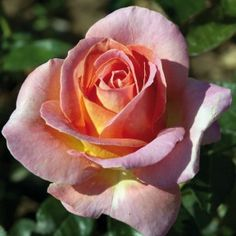 A large flowers rose bush, with petals , an original ocher color, with yellow, orange and pink shades and a sweet rose and banana fragrance. Bed Of Roses, Pink Roses, Pretty Roses, Beautiful Roses, Types Of Flowers, Large Flowers, Rose Meilland, Elle Rose, Rose Foto