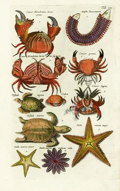 Merian Fish Prints, Crab Prints, Shell Prints from Johnston 1767