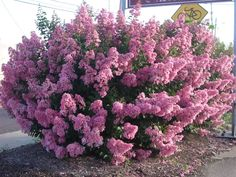 """Crape Myrtle - Crape Myrtles are among the toughest, most adaptable, and showiest plants that. The dark green leaves often turn orange or red in fall. Sometimes called """"the Lilac of the South"""", they are a beautiful branching flowering tree.  The deciduous Crape Myrtle is among the longest-blooming shrubs (up to 120 days), and varies in size from dwarf to large shrubs or small trees. It has dense clusters of crinkled, crepe-papery flowers in white or shades of pink, red, or purple.  Zone 6-11"""