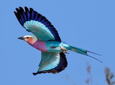 Lilac-Breasted Roller | 23 Dumb Animals That I Can't Believe Are Really Real