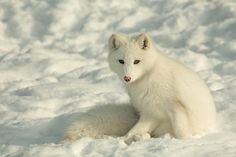 Renard arctique / Arctic fox (Alopex lagopus) - 35 Lovely Fox Pictures  <3 <3
