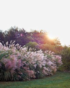 Alternative to fencing along grass Purple, plumelike pampas grass thrives on the 1.4-acre property.