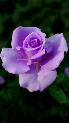 Lavender Roses, Purple Roses, Pretty Roses, Beautiful Roses, Exotic Flowers, Amazing Flowers, Rose Reference, All The Bright Places, Perennial Flowering Plants