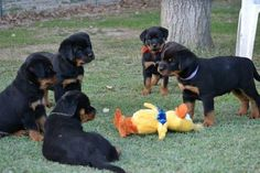 Very interesting post: Rottweiler Puppies - 38 Pictures.сom lot of interesting things on Funny Dog. Funny Animal Pictures, Dog Pictures, Cute Pictures, Funny Animals, Cute Animals, Friday Pictures, Hilarious Pictures, Dog Photos, Love My Dog
