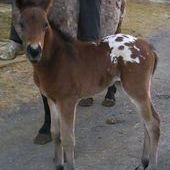 APHC Blanket app colt for sale in Lehigh, Pennsylvania, United States of America :: HorseClicks