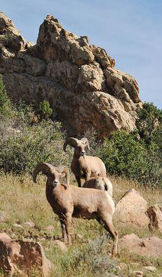 Big Horn Sheep near Garden of Gods in Colorado Springs