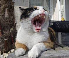Cat Dental Health - Tooth or Consequences - The Purrington Post Dental Health Month, Cat Behavior, Cat Health, Dental Care, I Love Cats, Cat Lovers, Kitty, Tooth, Advice