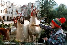 Prague's wooden stalls bring Bohemian crystal, wooden toys and tasty food to the masses, plus the chance to pet a few live animals like these hungry llamas.