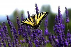 butterflies and lavender, a perfect combination