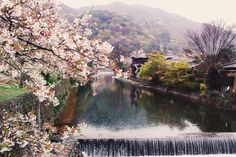 Kyoto cherry blossoms