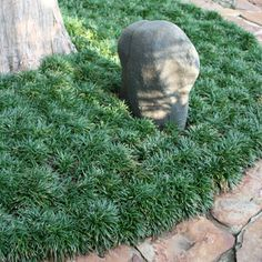Mondo Grass ground cover - Slow growing ground cover for the shade. Also comes in black.
