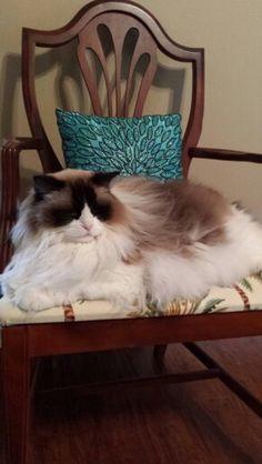 Beautiful ragdoll cat!