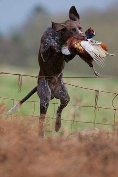 Pheasant retrieve. #Upland #Hunting #GSP - campinglivezcampinglivez