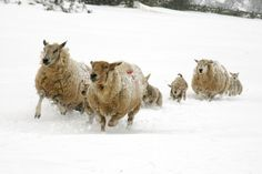 One of my favourites from last year. Sheep and lambs running to get food during harsh conditions last March.