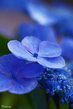 ~~Hydrangea by Dalang55555~~