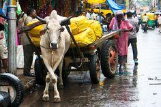 https://flic.kr/p/74KYnV | Ox and Cart | Old Delhi, India