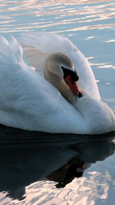 1080x1920 Wallpaper swan, swim, bird, water