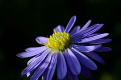 Gorgeous Blue Daisy!! Photo by Paul Martens -- National Geographic Your Shot