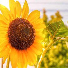 ヒマワリの画像 by aki beatさん|夏を感じるひまわりコンテストと今日の一枚と咲いた! (2015月8月10日)|みどりでつながるGreenSnap