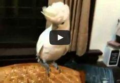 Bird dances Gangnam Style
