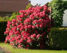 Caring for a rhododendron bush