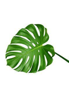 몬스테라(monstera) 액자 포스터 식물이미지 자료 요즘 데코 한다는 분들은 몬스테라(monstera)를 실제로 ... Watermelon Tattoo, Lion Tattoo, Tattoo Ink, Watercolor Illustration, Leaf Tattoos, Decoration, Plant Leaves, Cactus, Doodles