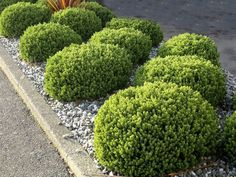 Hebe Toparia - Compact ball shaped shrub that remains very tidy without pruning. Very bushy with small glaucous leaves and white flowers in early summer. Height x width Ships up to 50 per carton - please see Shipping Info Landscaping Plants, Garden Plants, Emerald Gem, Garden Inspiration, Garden Ideas, Native Plants, Bonsai, Shrubs, White Flowers