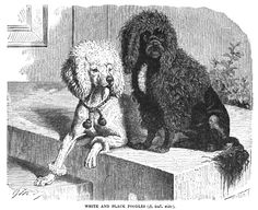 1894 Poodles, from the book 'The Royal Natural History, Volume 1' by Richard Lydekker.