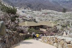 Mùa xuân tại đất nước Hàn Quốc được bao phủ xung quanh bởi sắc hoa anh đào, những đồi chè xanh mát, hay mùa hoa cải vàng ươm tại hòn đảo Jeju.