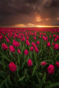 Dark Romance - Shot this one yesterday during some heavy storms. Tulip season is at full speed here :) Lens For Landscape Photography, Landscape Photographers, Landscape Photos, Photography Tips, Nature Photography, Sunset Landscape, Travel Photography, Beautiful World, Beautiful Places