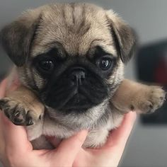 Pug Funny 🐶 Best Picture For Dogs and puppies wallpaper For Your Taste You are … Cute Pugs, Cute Dogs And Puppies, Pet Dogs, Pets, Doggies, Cute Little Animals, Cute Funny Animals, Baby Pugs, Pug Love