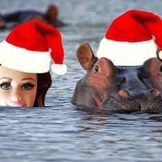 Merry Christmas, ya filthy animals. I plan on spending the day of Christ's birth with the most gentle lamb of the savanna, the hippo. How fitting. #iwantahippopotamusforChristmas #onlyahippopotamuswilldo #nocrocodiles #norhinoceroses #ionlylikehippopotamuses #andhippopotamuseslikemetoo
