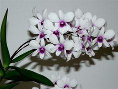 Orchidee L