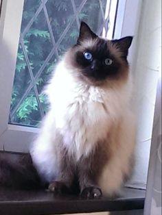 Mozart – Ragdoll of the Week http://www.floppycats.com/mozart-ragdoll-of-the-week.html The Animals, Pretty Cats, Beautiful Cats, Animals Beautiful, Siamese Cats, Ragdoll Cats, Races De Chats, Balinese Cat, Himalayan Cat