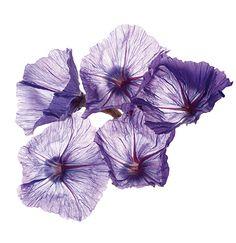 Fleur précieuse d'Immortelle Bleue - Gamme Crème Prodigieuse®  #NUXE #Fleur #Flower #CrèmeProdigieuse #Beauty